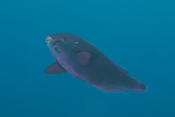 BD-150228-Ras-Mohammed-7348-Scarus-niger.-Forsskål.-1775-[Dusky-parrotfish].jpg